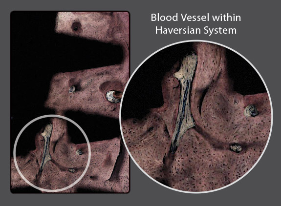 Haversian Systems
